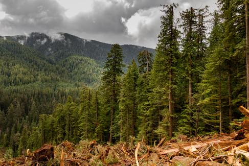 Carmannah Walbran Logging 5