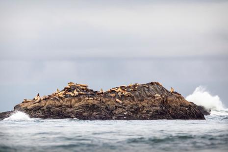 May 09, 2021 - Steller Sea Lions 1.jpg