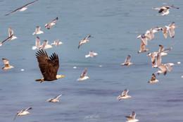 Herring-roe Fishery 3