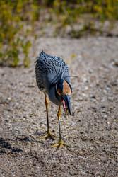Yellow-crested Night Heron