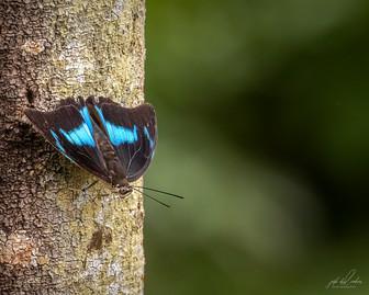 Prepona Butterfly