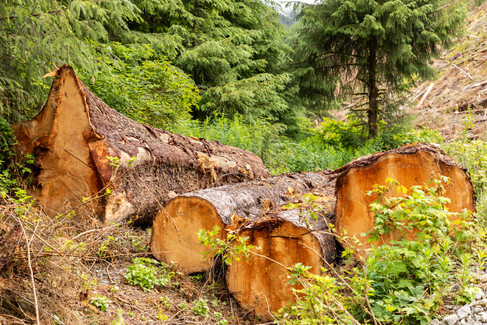 Carmannah Walbran Logging 2