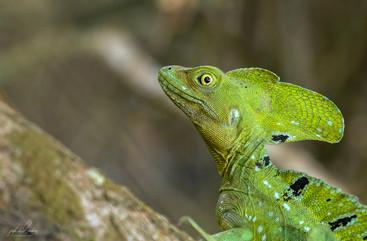 Male Common Basilisk