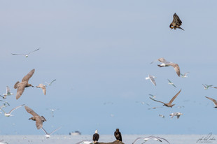 Herring-roe Fishery 12