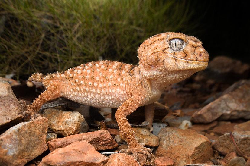 Centralian Knob-Tailed Gecko
