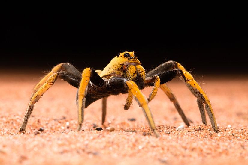 Bicolour Wolf Spider