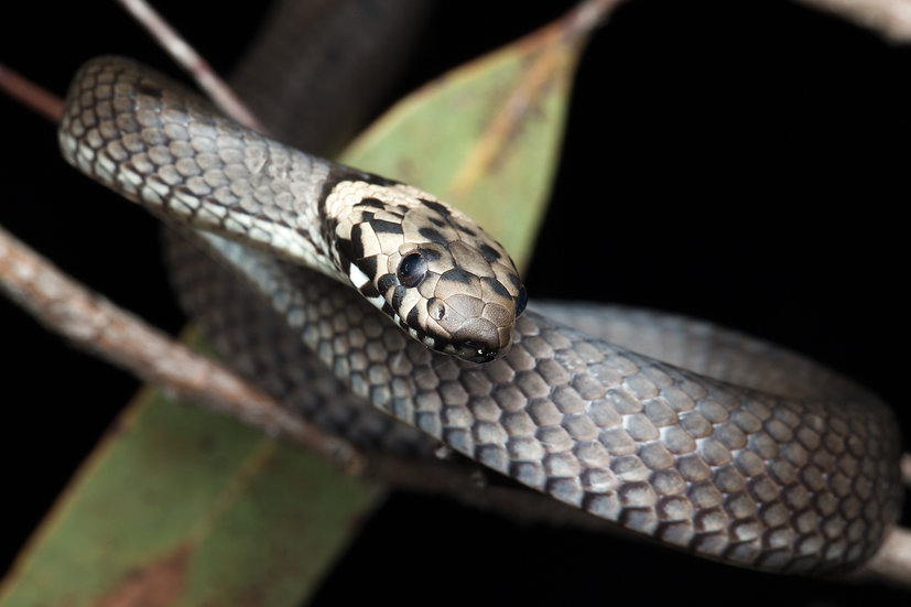 Pale-Headed Snake