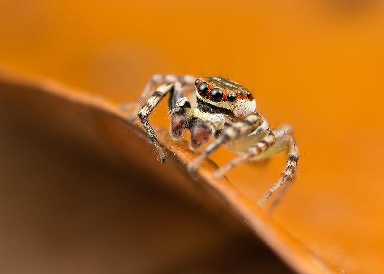 Wandering Jumping Spider