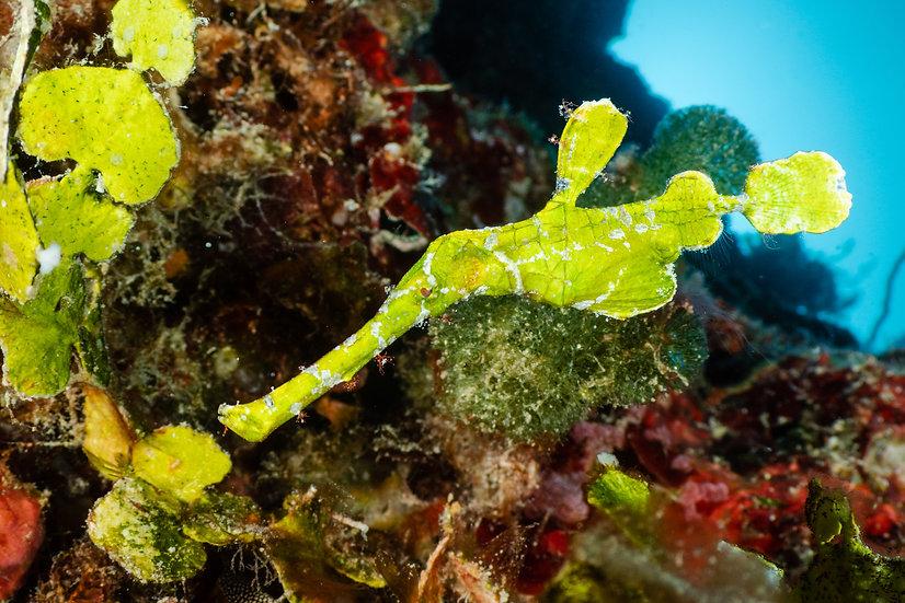 Halimeda ghost pipefish