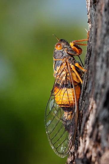 Darwin Cicada
