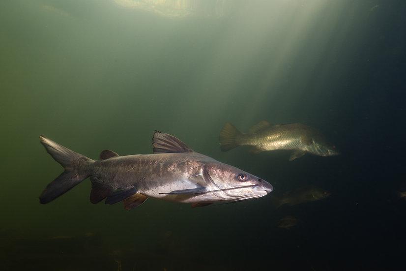 Salmon Catfish & Barramundi