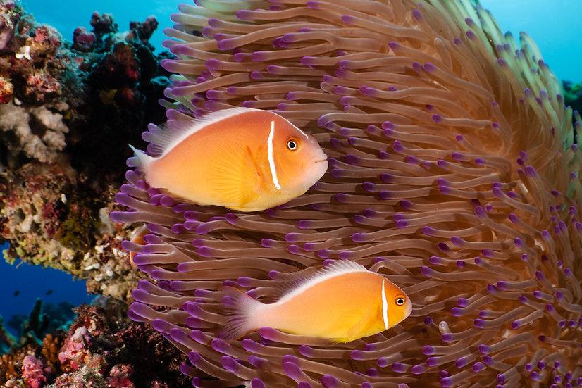 Pink Anenomefish