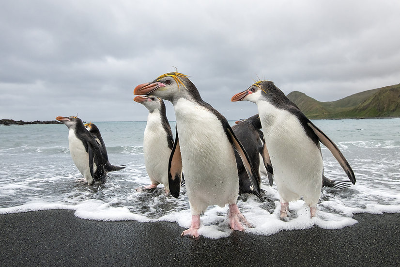 Royal Penguins