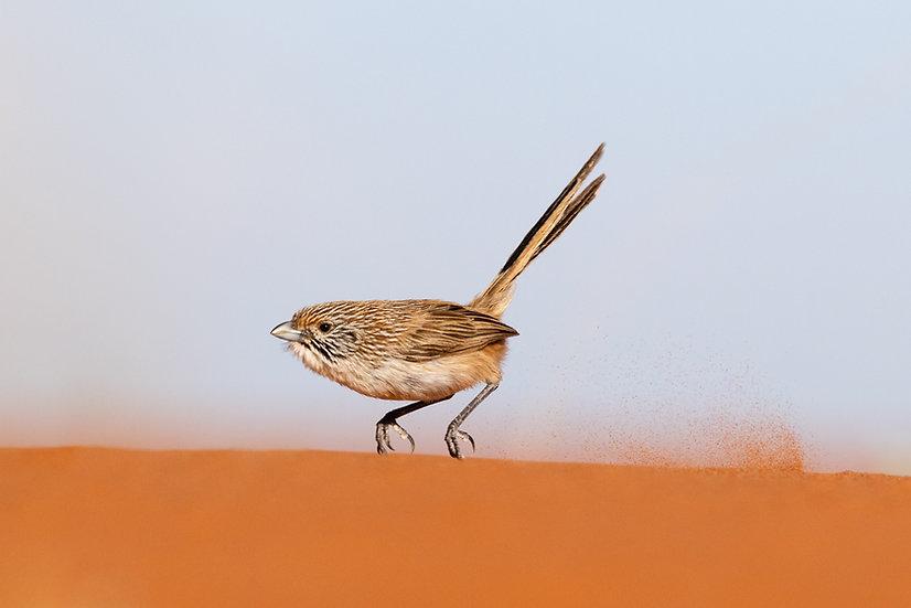 Eyrean Grasswren