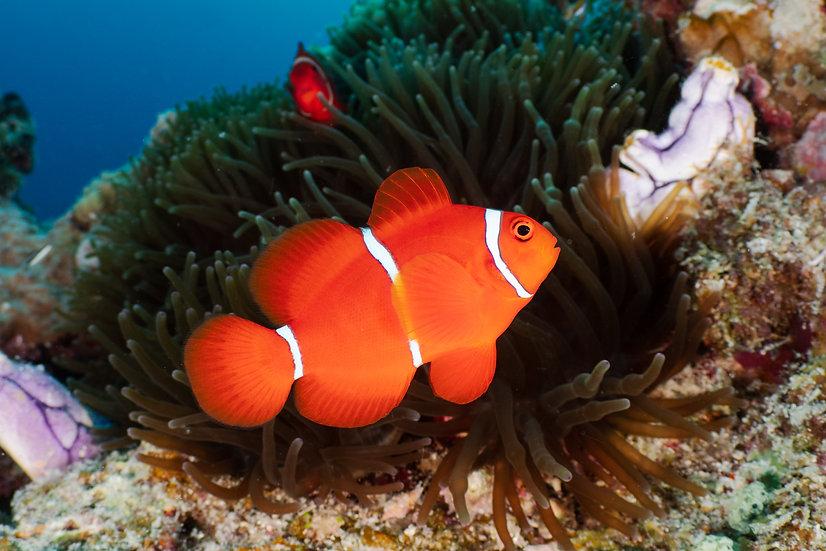 Spine-cheek Anenomefish