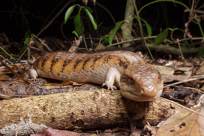 Northern Blue-Tongue Lizard