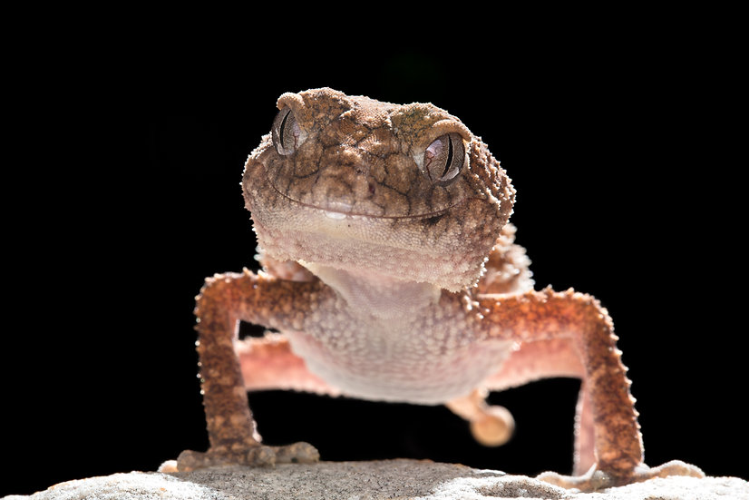 Northern Knob-Tailed Gecko