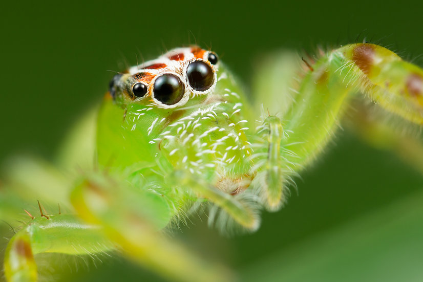 Northern Green Jumping Spider