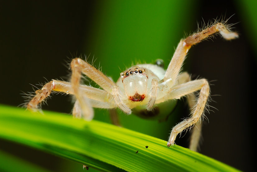 Badge Spider