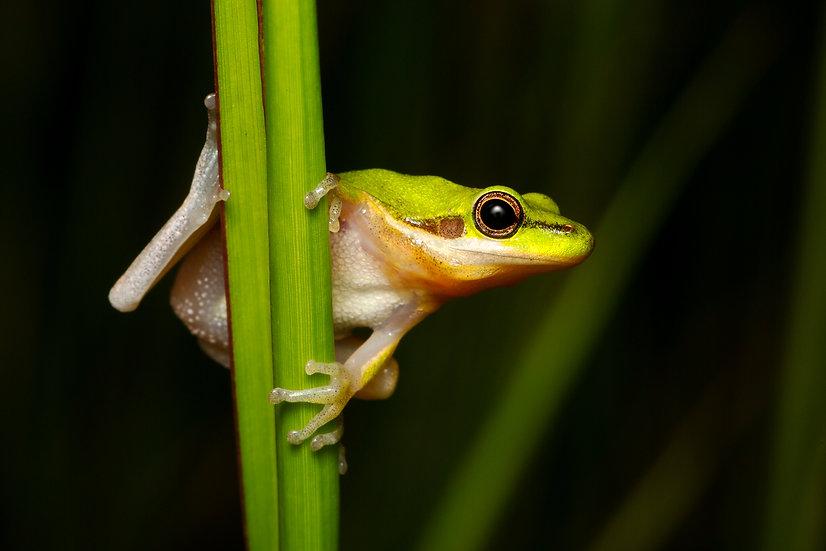 Northern Dwarf Tree Frog