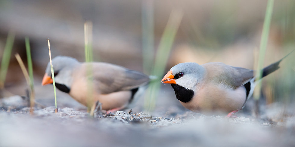 Long-Tailed Finches