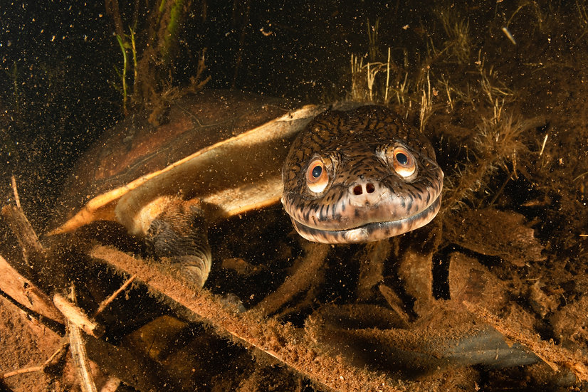Northern Long-Necked Turtle