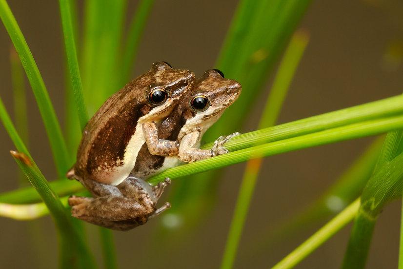 Javelin Frog Amplexus