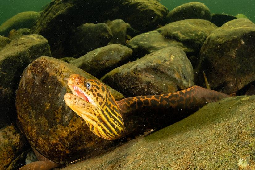 Freshwater Moray Eel