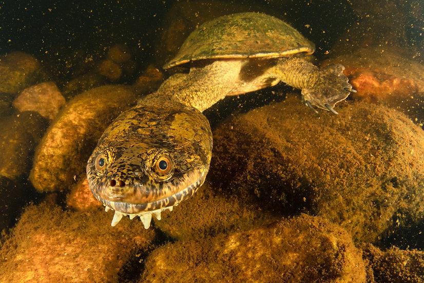 Sandstone Long-Necked Turtle