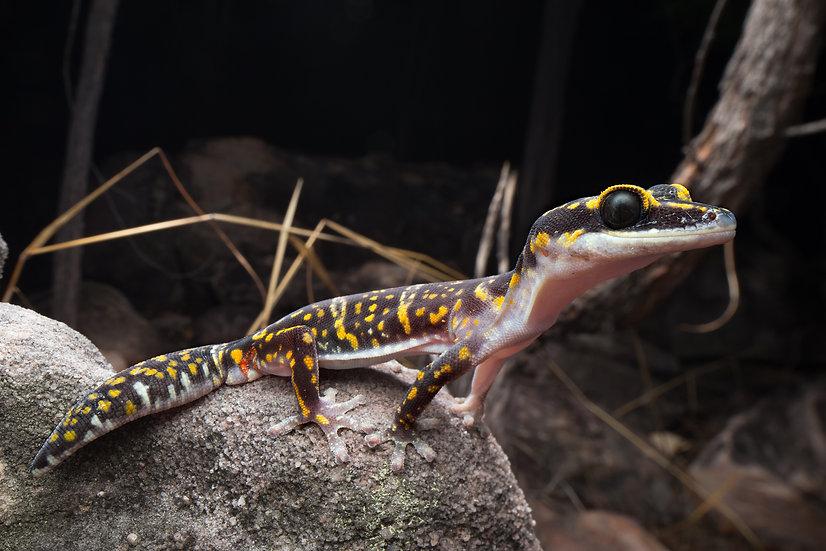 Marbled Velvet Gecko