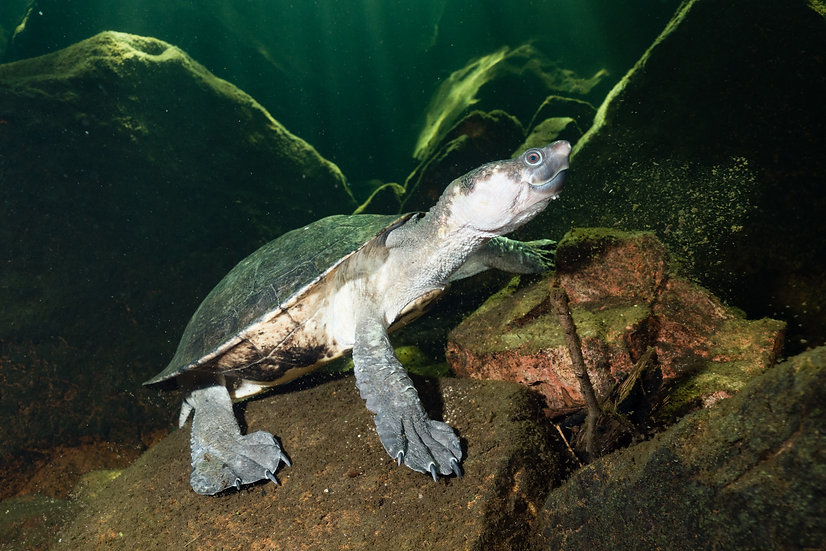 Northern Snapping Turtle