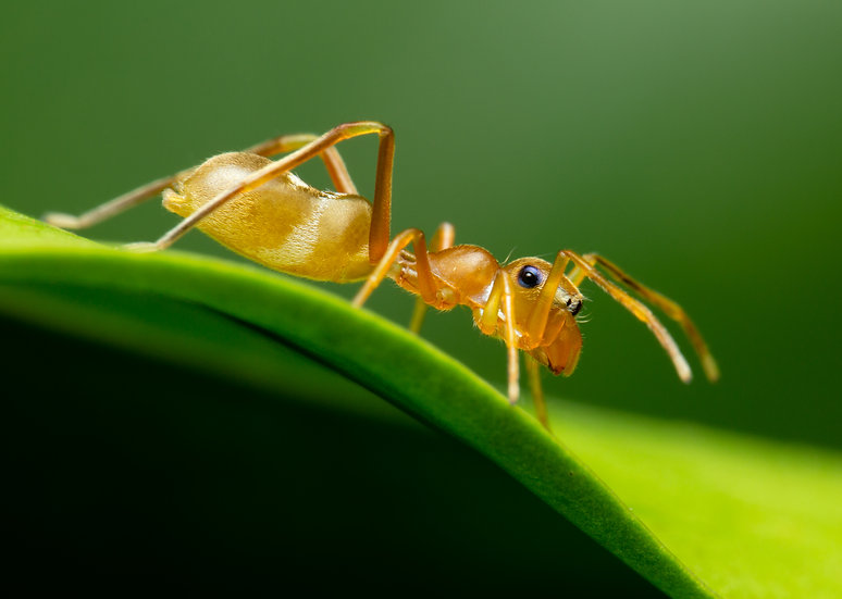Green-Ant Mimic Spider