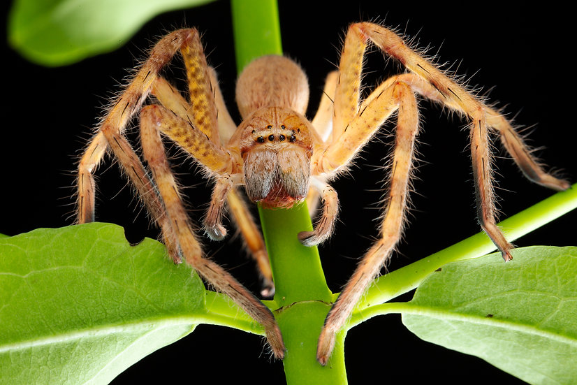Badge Spider