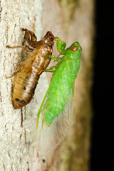 Pine Creek Cicada