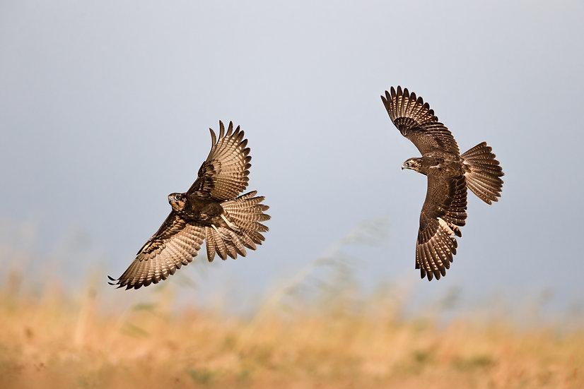 Brown Falcon Pair