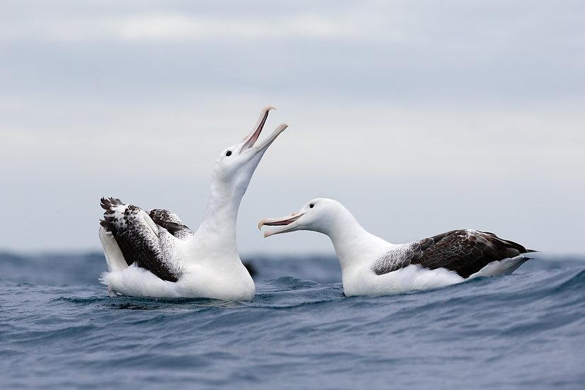 Soutern Royal Albatross Courtship
