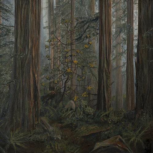 Redwood Ramble