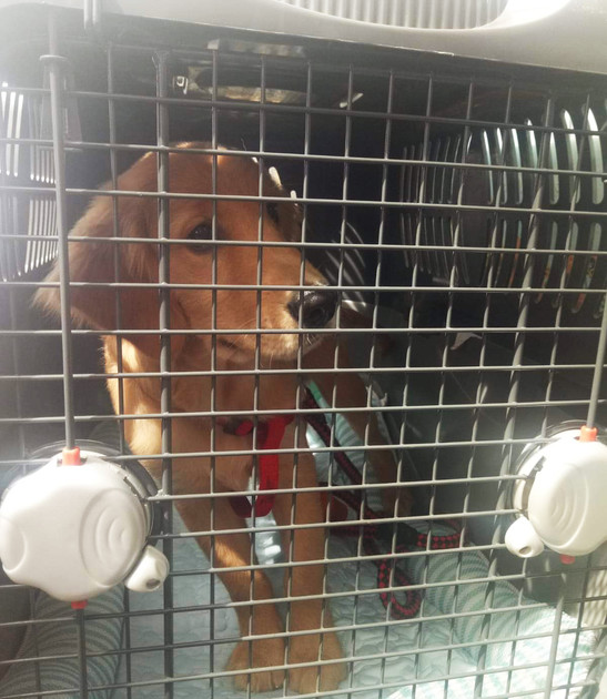 Airport pet taxi, dog relocating to Singapore