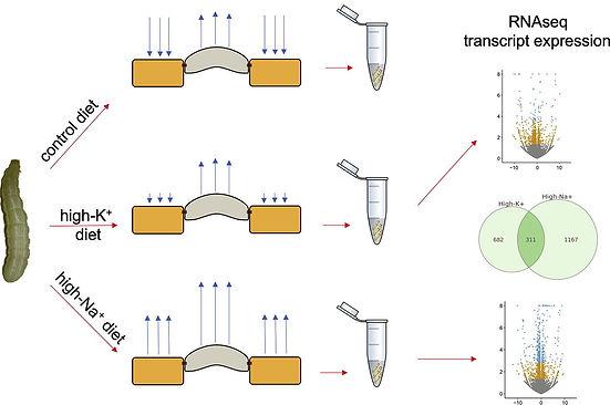 RNAseq study on Malpighian tubules