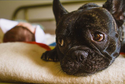 Ace's-french-bulldog,-Hugo,-watching-over-baby-Beckett,-2015.png