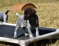 Surfside Shorthairs Puppy