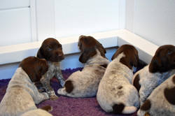 Surfside Shorthairs Puppies