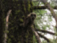 Pivot Confirms Calif Spotted Owl
