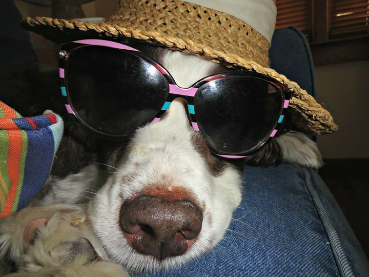 Our English Springer Spaniel, Angelle, wearing a hat and sunglasses at Rolling Waves Beach Cottages