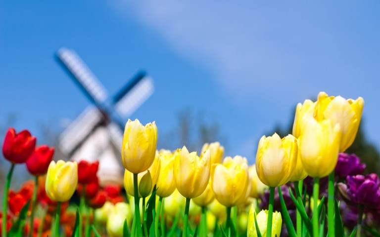 Colorful tulips with windmill in the background in Holland