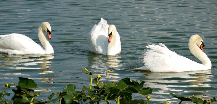Three swans on a lake in Lakeland, Florida