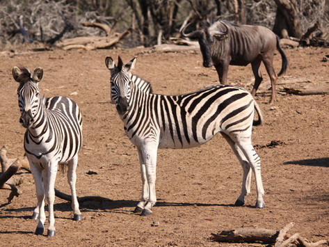 Zebra and Wildebeest are Friends with Benefits