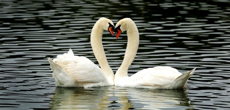 Two swans facing each other in a heart shape