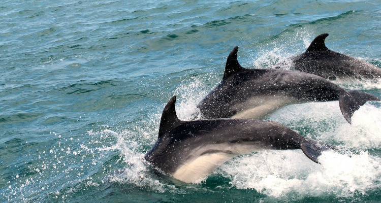Three dolphins leaping out of the water together