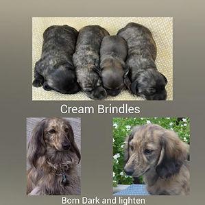cream brindles.jpg